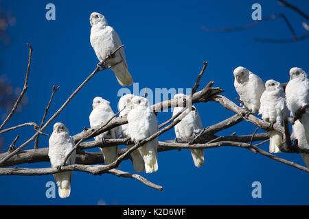 A flock of little Corella's doze in a dead tree, while one bird remains vigilant. These birds flock together in - Stock Photo