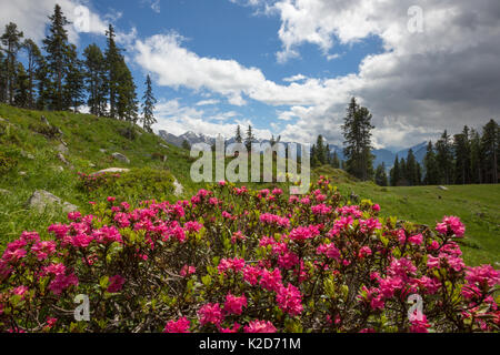 Alpenrose (Rhododendron ferrugineum) in mountain landscape, Nordtirol, Austrian Alps June - Stock Photo