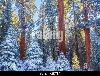 First rays of golden sunshine hit Giant Sequoias (Sequoiadendron giganteum) covered in a winter blanket of snow - Stock Photo