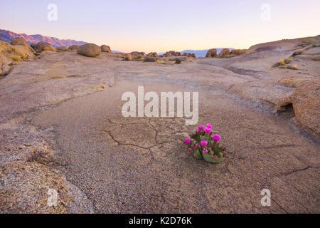 Beavertail cactus (Opuntia basilaris) in otherwise stark desert, Alabama Hills, Owen's Valley, California, USA May - Stock Photo