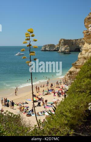 Century plant (Agave americana) flowering above Praia da Marinha beach, near Carvoeiro, Algarve, Portugal, July - Stock Photo