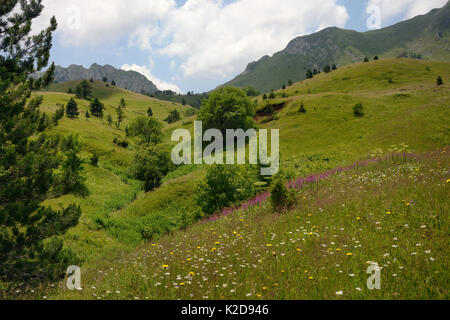 Alpine meadows in Sutjeska National Park with a profusion of wild flowers, including Spotted hawkweed (Hypochoeris - Stock Photo