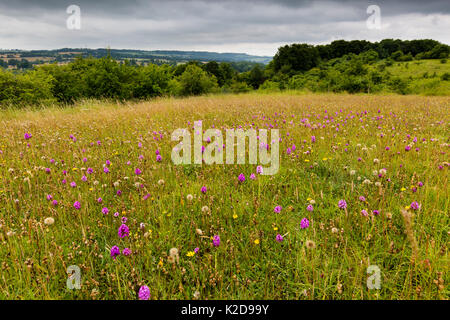 Pyramidal orchid (Anacamptis pyramidalis) on land restored from arable to wildflower rich grassland, Syreford, Gloucestershire, - Stock Photo