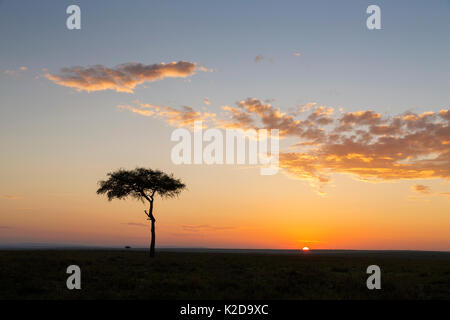 Sunrise in the Masai Mara National Reserve, with Whistling Thorn (Acacia drepanolobium) tree in picture, Kenya - Stock Photo