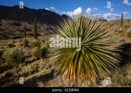 Queen of the Andes (Puya raymondii) plants in steppe, Cordillera Blanca, Andes, Peru - Stock Photo