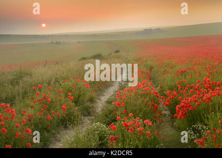 Distant sunset over field full of Poppies, near Brighton, Sussex, England, UK. July 2013. - Stock Photo
