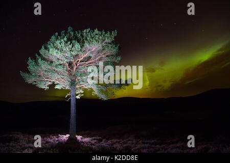 Scots pine (Pinus sylvestris) with Northern lights / Aurora borealis lighting up the night sky in background, Monadhliath - Stock Photo