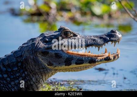 Yacare Caiman (Caiman yacare, Caiman crocodilus yacara), Pantanal, Mato Grosso do Sul, Brazil - Stock Photo