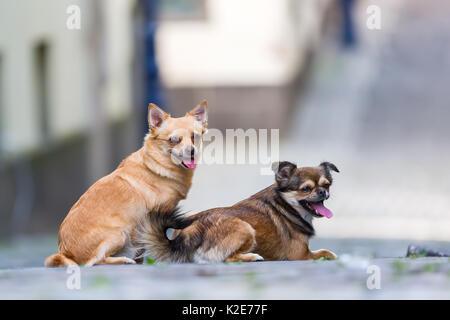 portrait picture of two cute small dogs on a cobblestone road - Stock Photo