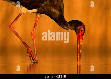 Black stork (Ciconia nigra), while foraging fish, Kiskunság National Park, Hungary - Stock Photo