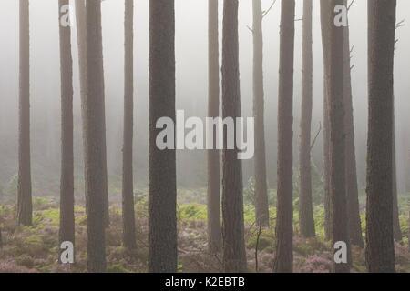 Scots pine (Pinus sylvestris )tree trunks in dawn mist, Rothiemurchus, Cairngorms National Park, Scotland, UK, August. - Stock Photo