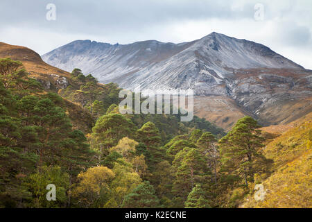 Scots pine (Pinus sylvestris) trees growing in wooded ravine, Beinn Eighe National Nature Reserve, Torridon, Wester - Stock Photo