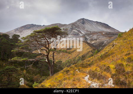 Scots pine (Pinus sylvestris) trees growing in wooded ravine, Beinn Eighe National Nature Reserve, Wester Ross, - Stock Photo
