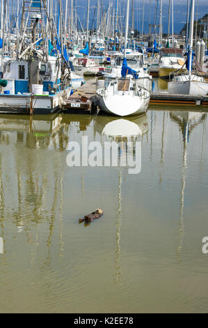 California sea otter (Enhydra lutris) asleep at surface in harbour, Monterey Bay, California, USA, Eastern Pacific Ocean, May Stock Photo