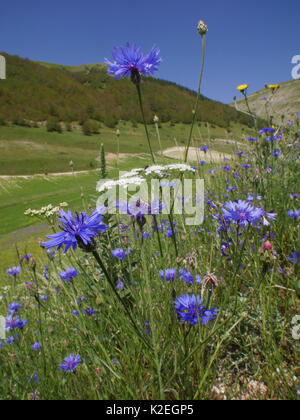 Cornflowers (Centaurea cyanus) and other weeds of cultivated land near Castellucio di Norcia, Umbria, Italy, June. - Stock Photo