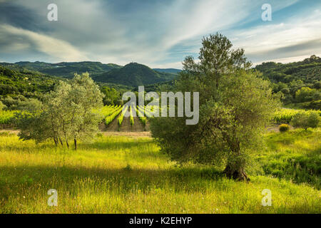 Vineyard at Castello Di Pontentino, near Seggiano, Province of Grosseto, Tuscany, Italy, June 2016. - Stock Photo