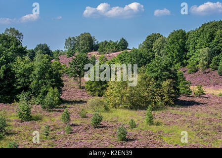 Heather (Calluna vulgaris) in bloom on the Mechelse Heide, heathland in the Hoge Kempen National Park, Limburg, - Stock Photo