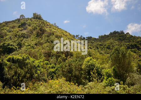 Montane Laurel forest / Laurissilva remnant, Los Tilos de Moya, Doramas Rural Park, Gran Canaria UNESCO Biosphere - Stock Photo