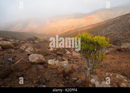 Candle plant (Kleinia neriifolia) Fuerteventura, Canary Islands. April 2013. - Stock Photo
