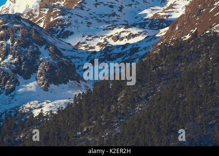 Conifer forest on the slopes of Kawakarpo Mountain, Meri Snow Mountain National Park, Yunnan Province, China, January - Stock Photo