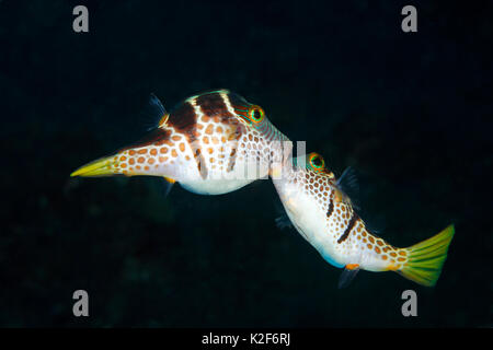 Valentines Puffer, also known as Valentines Sharp Nosed Puffer and Black-Saddled Toby, Canthigaster valentini. Two males fighting