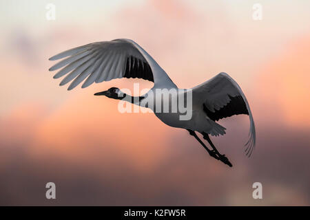 A Japanese red crested cranes flying above Akan crane center at sunset. - Stock Photo