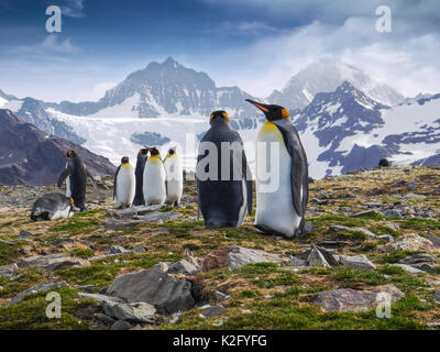 Low angle view of a group of king penguins standing in front of dramatic snow-capped mountains on South Georgia - Stock Photo