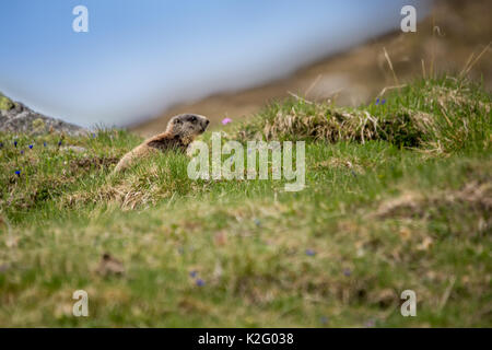 Baby Marmot Sitting on Meadow, European Alps, Italy - Stock Photo