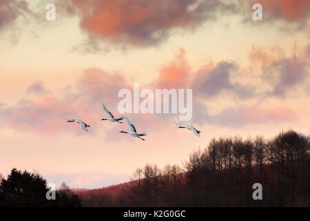 Japanese red crested cranes flying above Akan in hokkaido, at sunset, with mountains in the background - Stock Photo