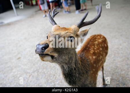 Wild deer walking around Nara, Japan. - Stock Photo