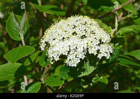 Wayfaring Tree, Hoarwithy, Twistwood, Meal Tree (Viburnum lantana), flowering - Stock Photo
