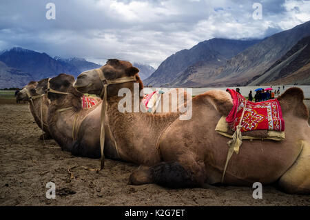 Bactrian camel in Hunder Sand Dunes of Nubra Valley, Leh Ladakh, Jammu and Kashmir, India - Stock Photo