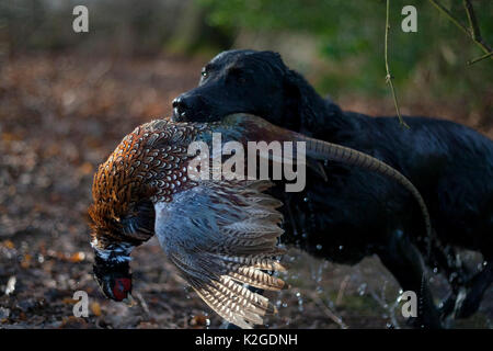 Wet labrador gundog emerging from lake with a male Ring-necked pheasant (Phasianus colchicus) in its mouth during - Stock Photo