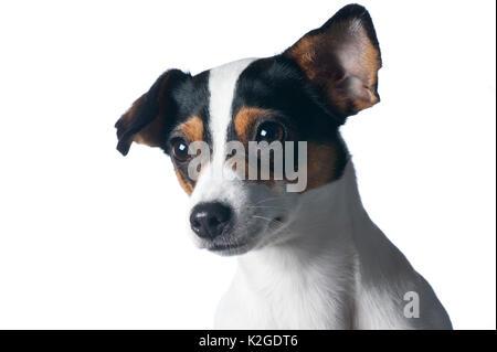 Danish / Swedish farm dog, Finland. - Stock Photo