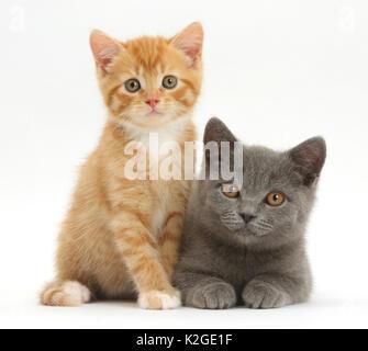 Ginger kitten and Blue British Shorthair kitten. - Stock Photo