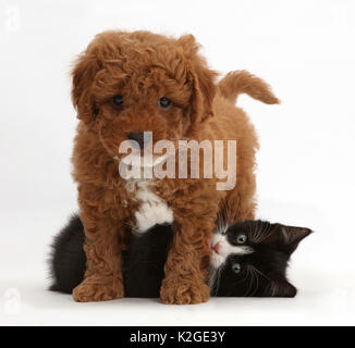 Black-and-white kitten, Solo, 7 weeks, playing with F1b toy Cavapoo (Cavalier King Charles Spaniel cross Poodle) - Stock Photo