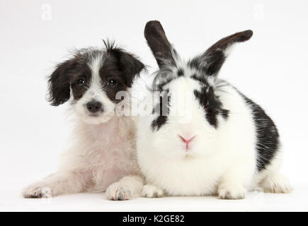 Black-and-white Jack-a-poo, Jack Russell cross Poodle puppy age 8 weeks, with black and white rabbit. - Stock Photo