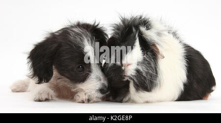 Black-and-white Jack-a-poo, Jack Russell cross Poodle dog pup, 8 weeks old, and black and white guinea pig. - Stock Photo
