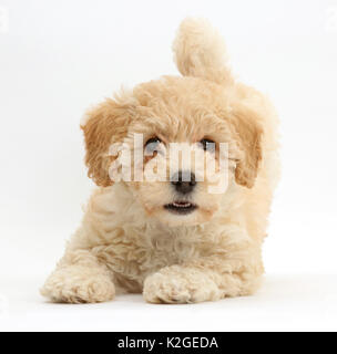 Poochon puppy, Bichon Frise cross Poodle, age 6 weeks. - Stock Photo
