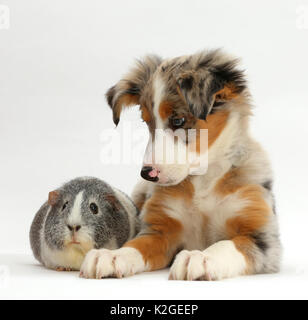 Tricolour merle Collie puppy, Indie,  age 10 weeks, with silver-and-white Guinea pig. - Stock Photo