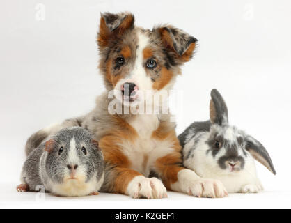 Tricolour merle Collie puppy, Indie, age 10 weeks, with Guinea pig and Rabbit. - Stock Photo