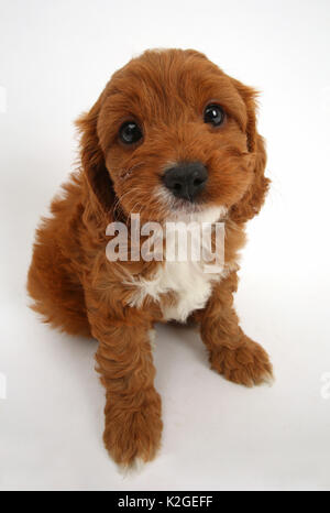 Cavapoo puppy, Cavalier King Charles Spaniel x Poodle, age 6 weeks, sitting and looking up. - Stock Photo