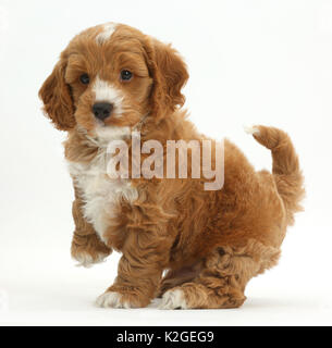 Cockapoo, Cocker spaniel cross Poodle puppy with paw raised. - Stock Photo