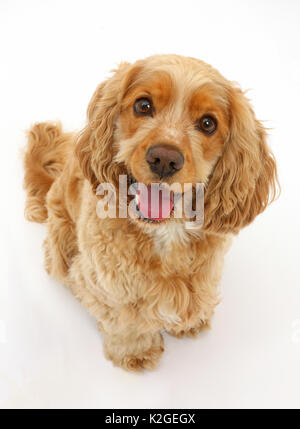 Golden Cocker Spaniel dog, Henry, age 3 years, looking up. - Stock Photo