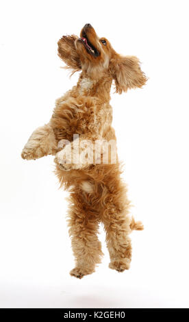 Golden Cocker Spaniel dog, Henry, age 3 years, jumping up. - Stock Photo