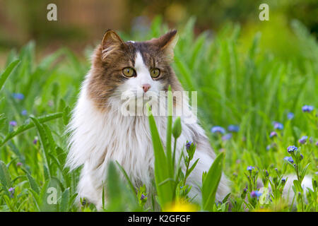 Long haired domestic cat portrait , sitting in grass, France - Stock Photo