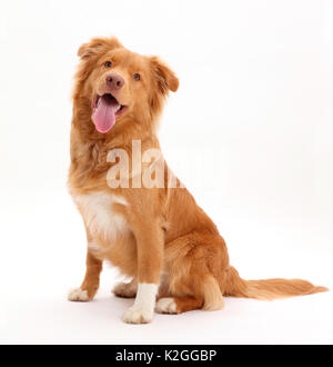 Nova Scotia Duck Tolling Retriever dog, age 6 months. - Stock Photo