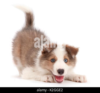 Sable-and-white Border Collie puppy, age 8 weeks, in play-bow. - Stock Photo