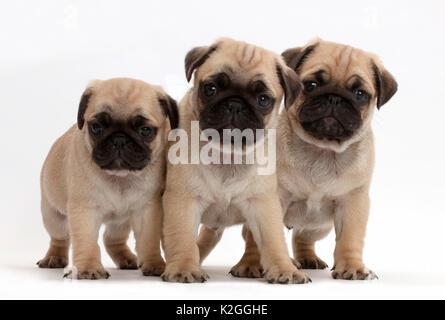 Three pug puppies. - Stock Photo