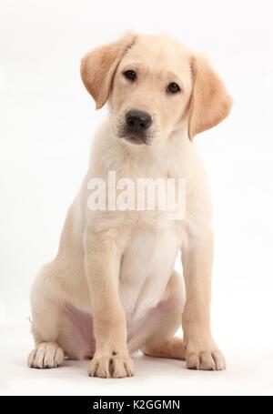 Yellow Labrador Retriever puppy, age 9 weeks. - Stock Photo